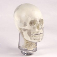Quart Dental X-Ray Head Phantom